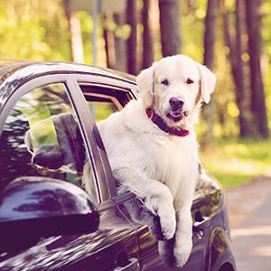 La place de l'animal en voiture