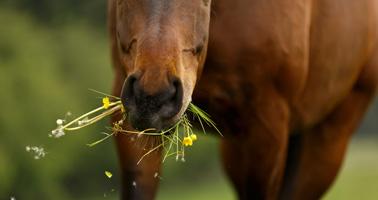 quels-plantes-ou-arbres-qui-nous-entourent-sont-dangereux-pour-les-chevaux